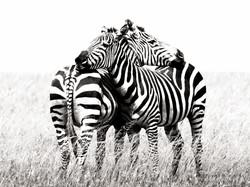 zebras embracing - 2015