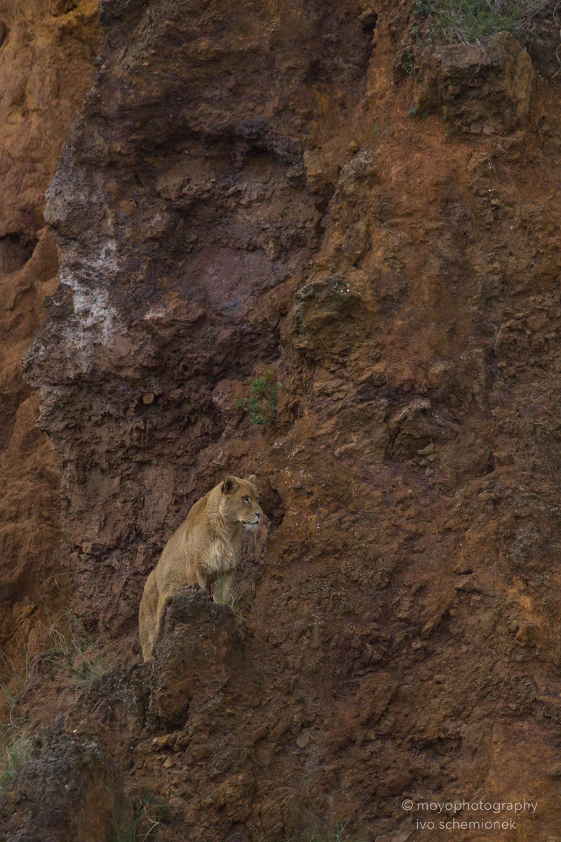 lioness - cabarceno - 2015