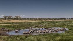 zebra gathering - 2015