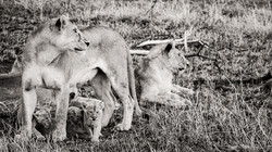 lions watching - 2014