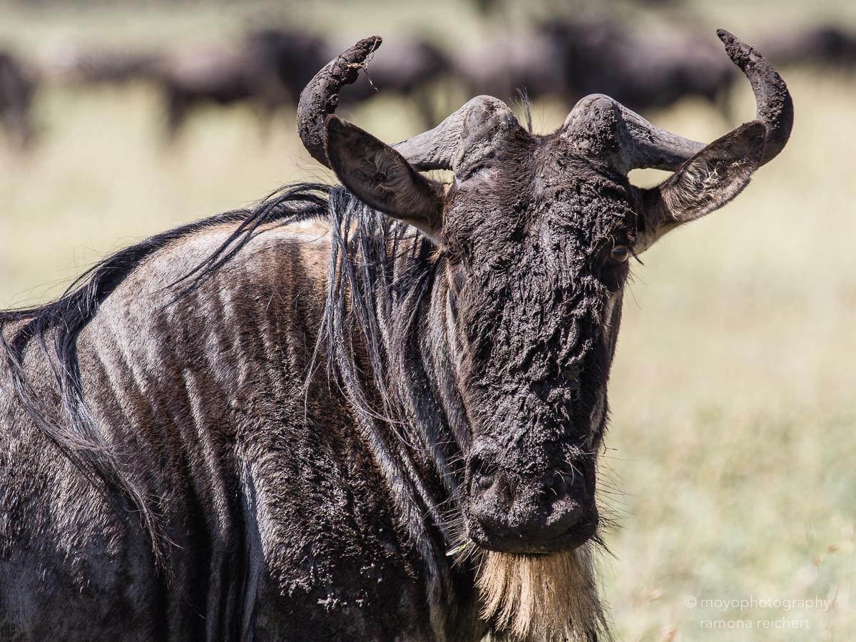 wildebeest portrait - 2014
