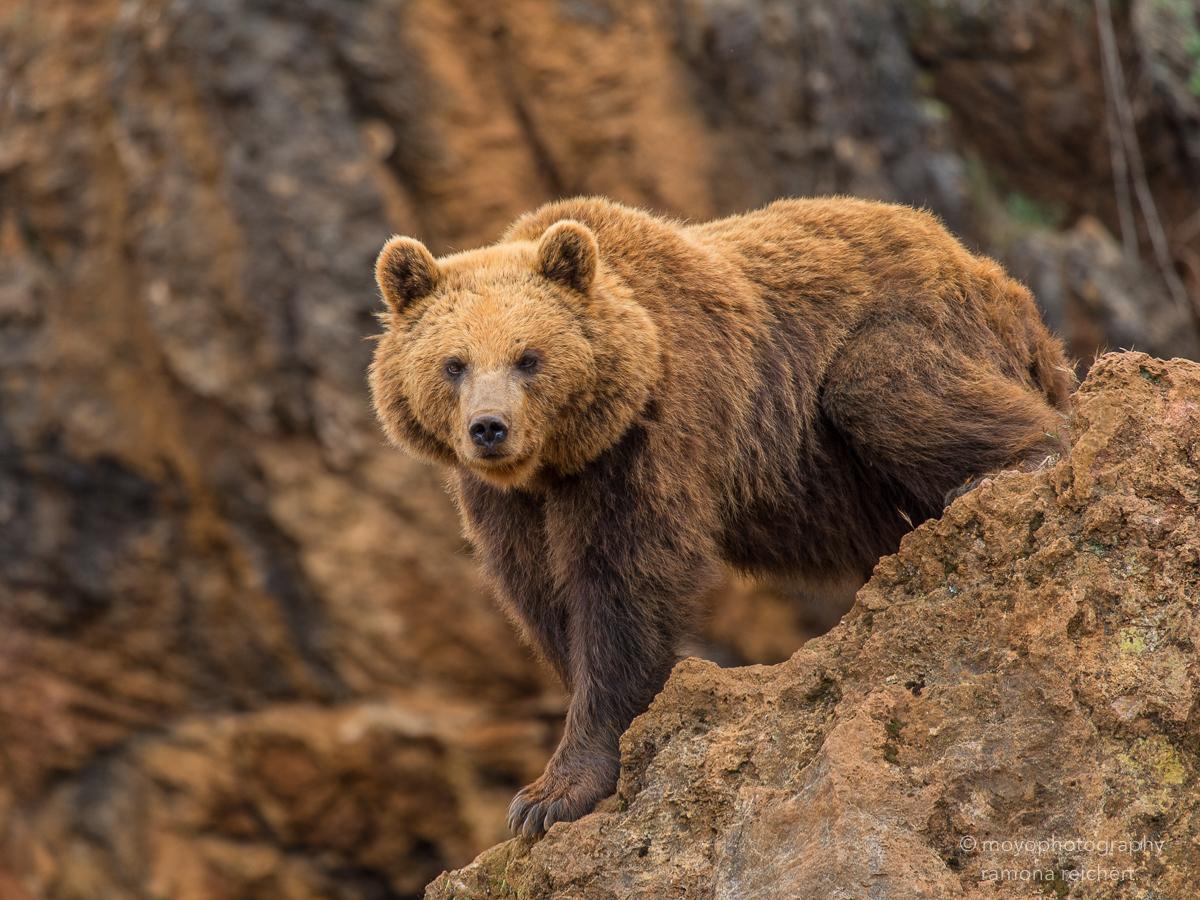 bear on the rocks - cabarceno - 2015