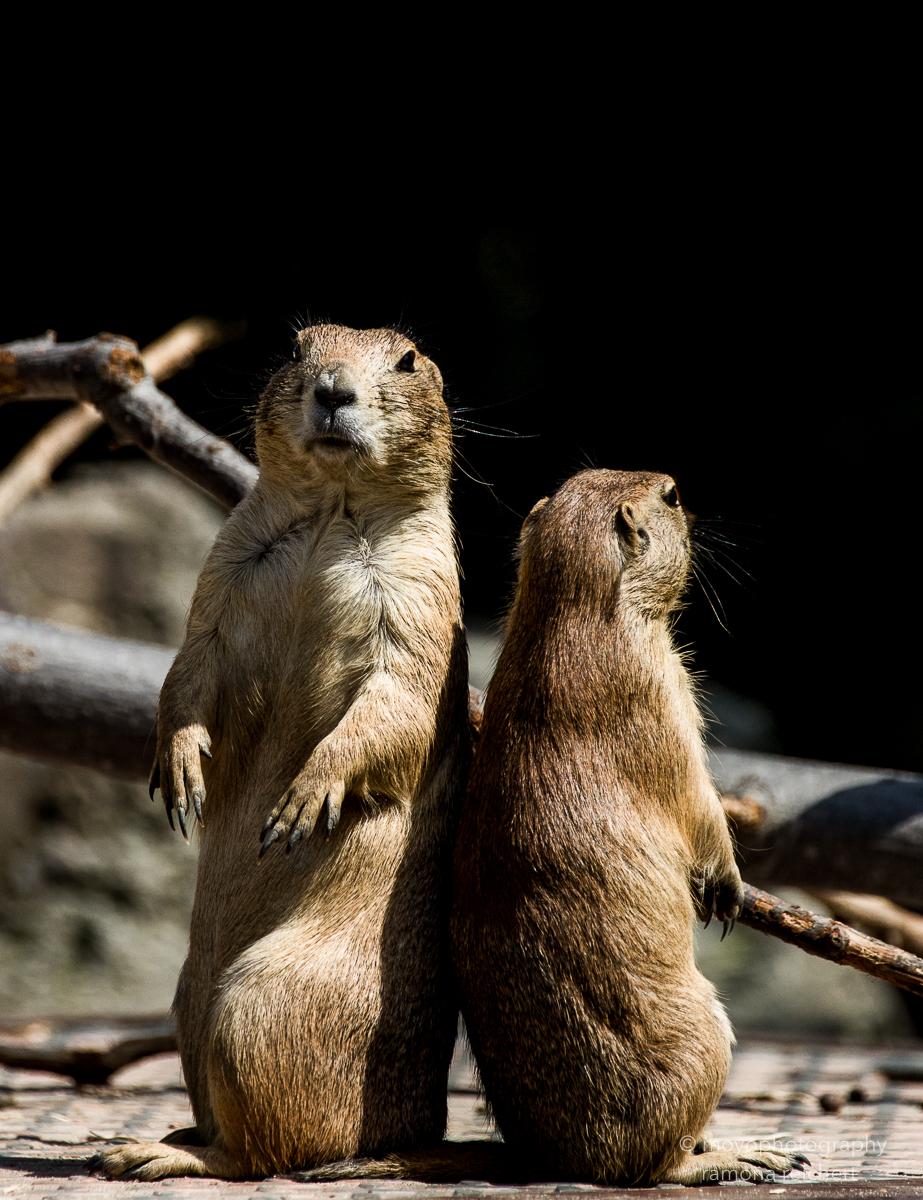 prairie dog - zoo hannover