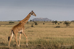giraffe in morning light - 2014