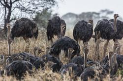 ostrichs in the rain - 2014