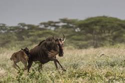 fleeing wildebeest - 2014