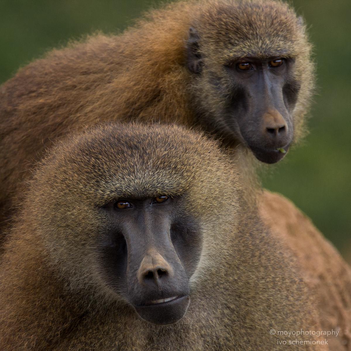 baboon portrait - cabarceno - 2015