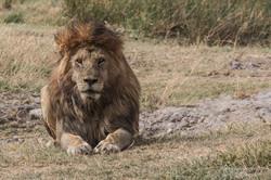 the lion veteran - 2015