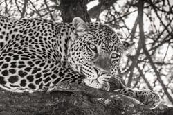 leopard dreaming - 2015