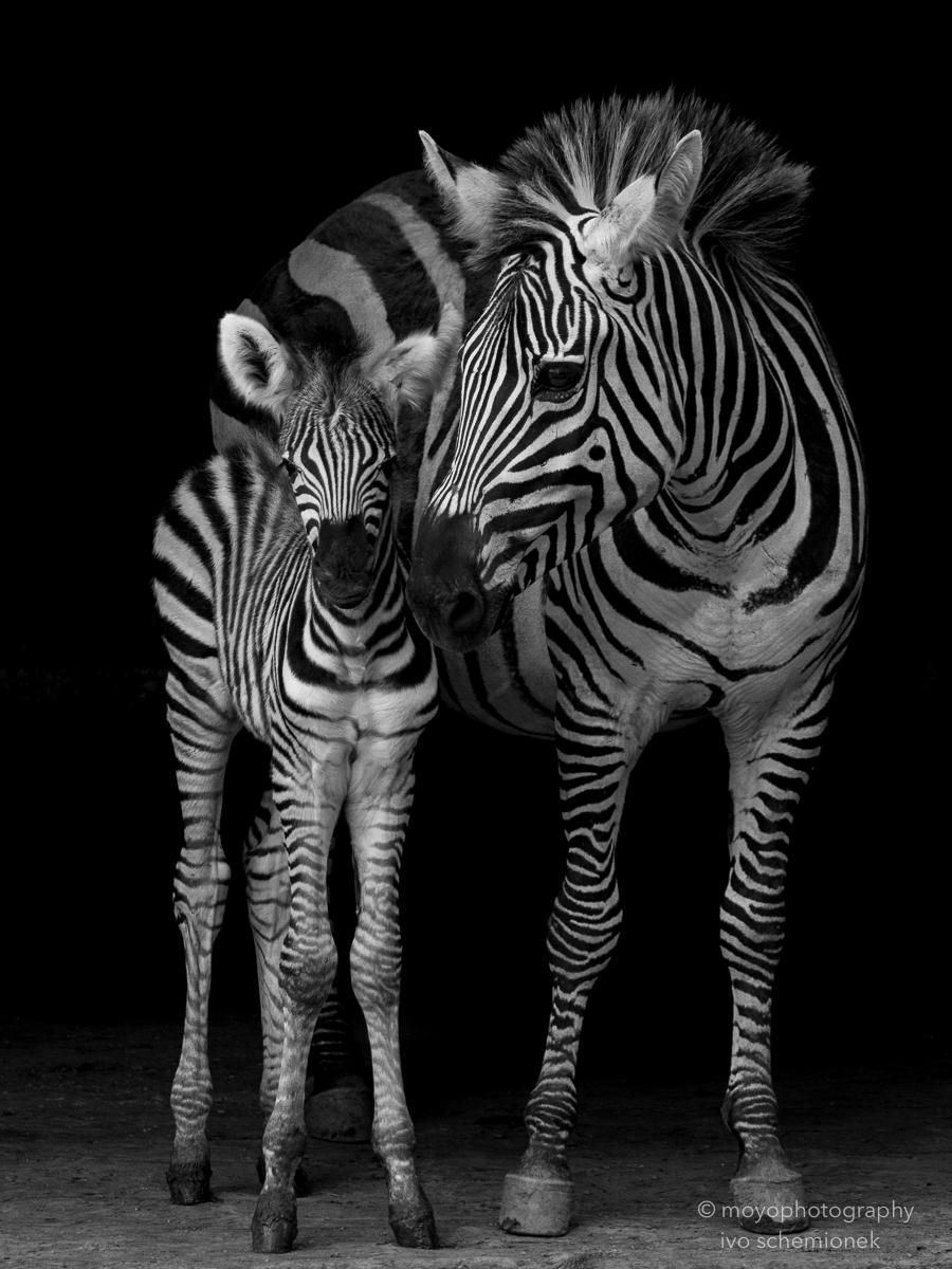 zebra's love - cabarceno - 2015