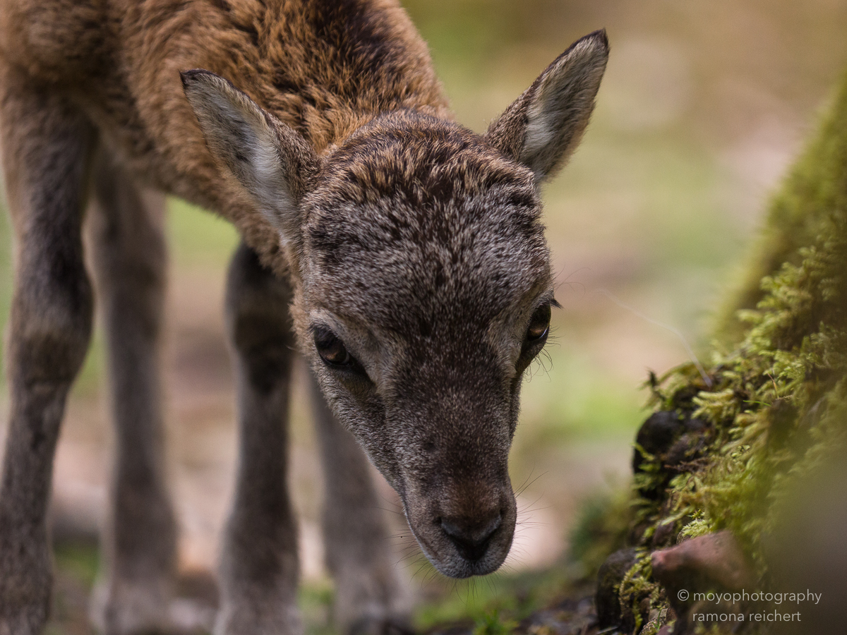 mouflon - tierpark goldau - 2016
