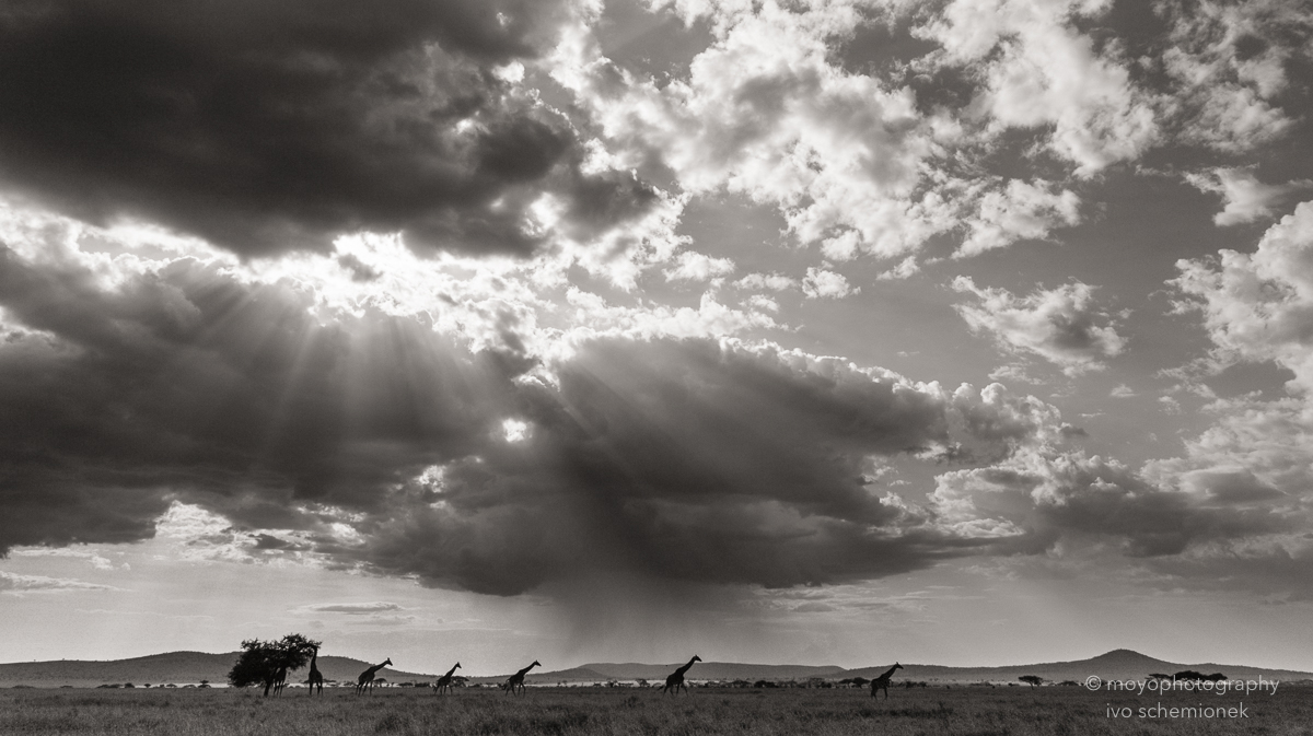 giraffes before rainstorm - 2015