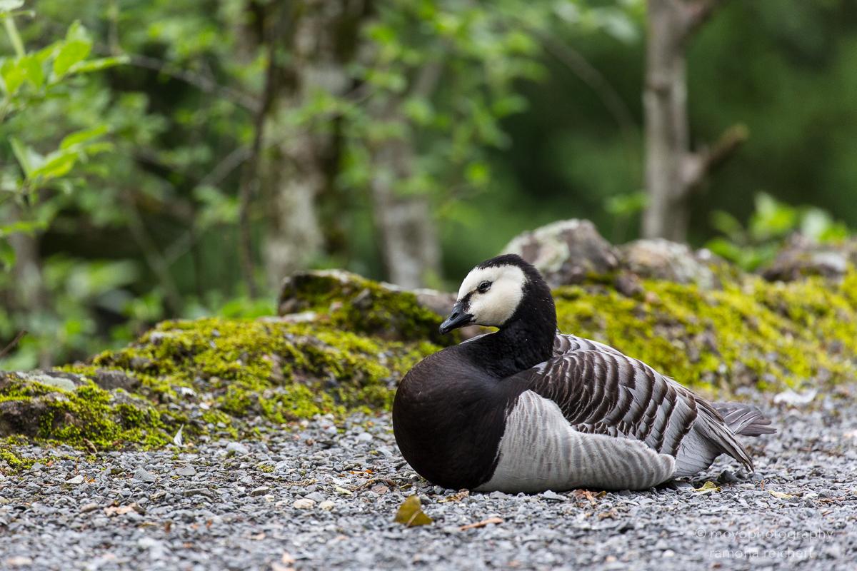 goose - tierpark goldau - 2016