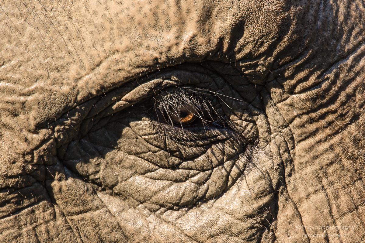 indian elephant - zoo zürich - 2016