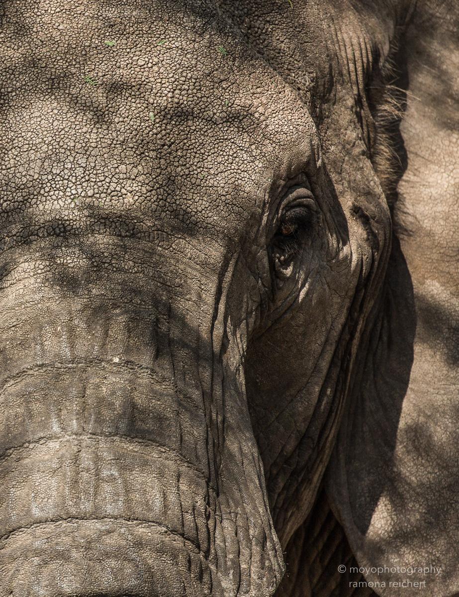 elephant close-up - 2015