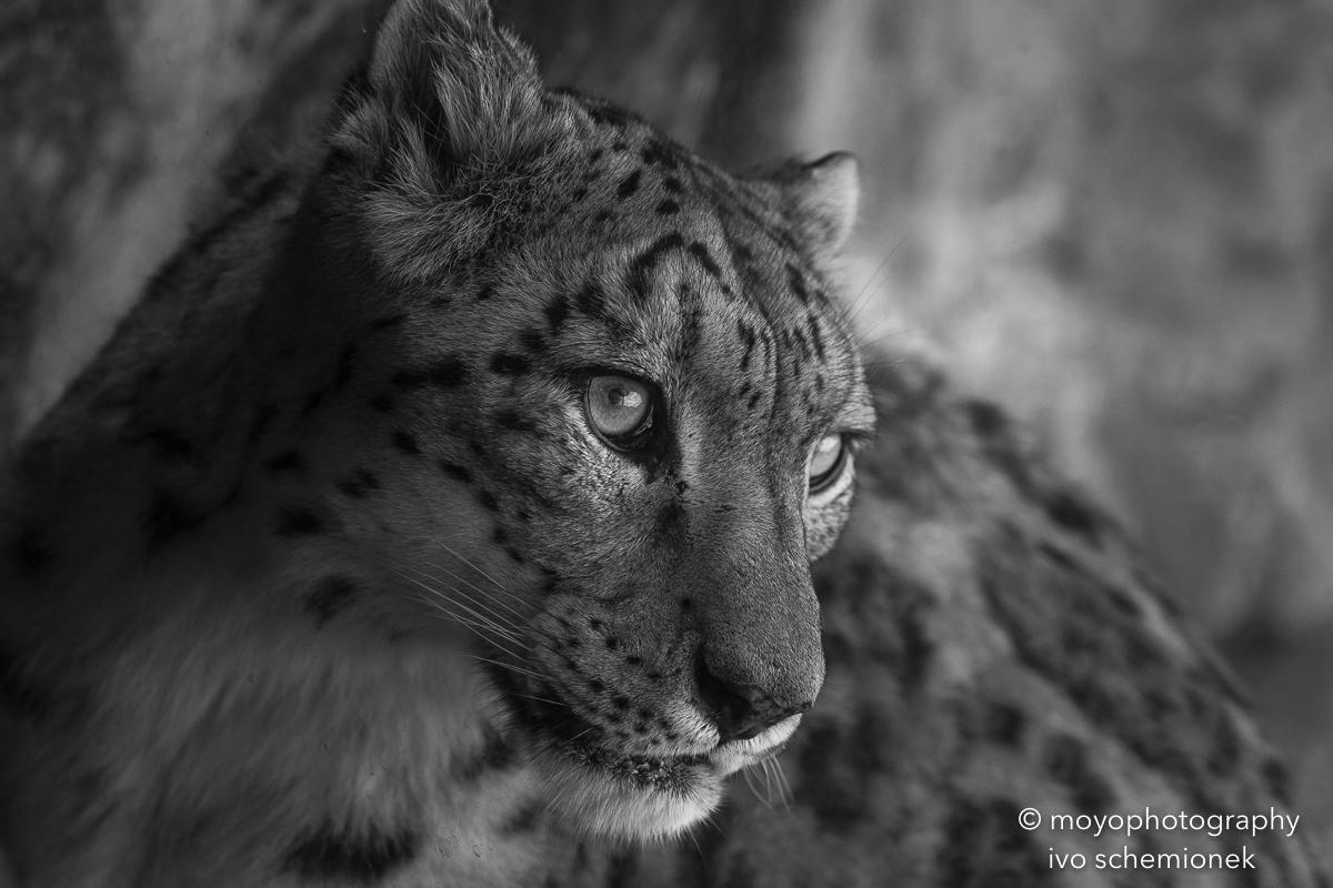 snow leopard - zoo zürich - 2016
