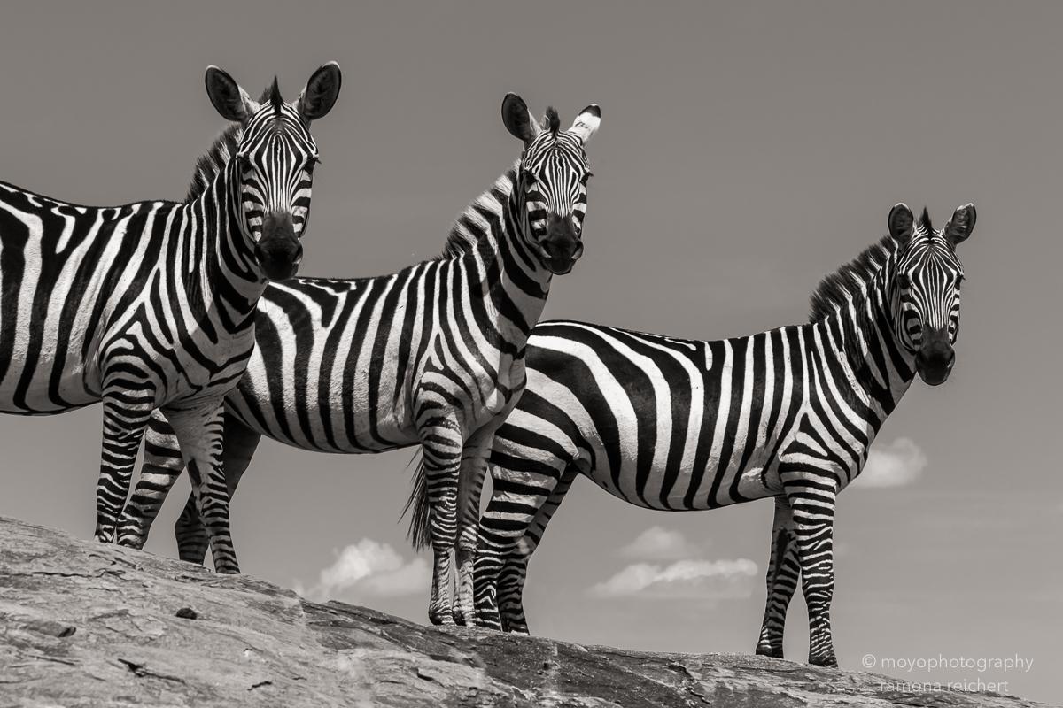 zebra triple -2015