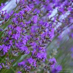 lavender in bloom - 2013