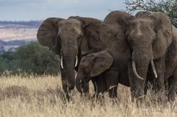 elephant triple - 2015