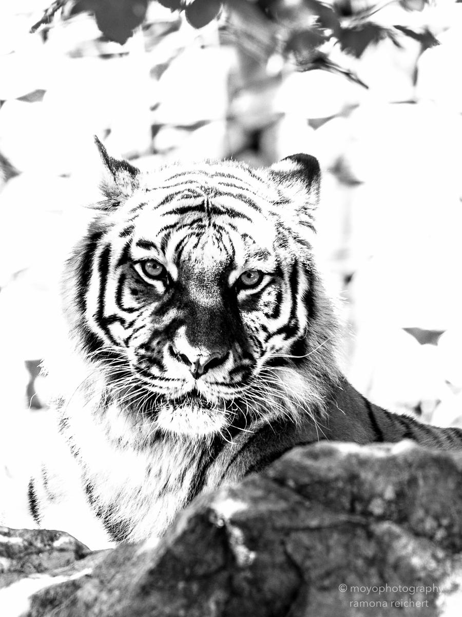 amurtiger - zoo zürich - 2016