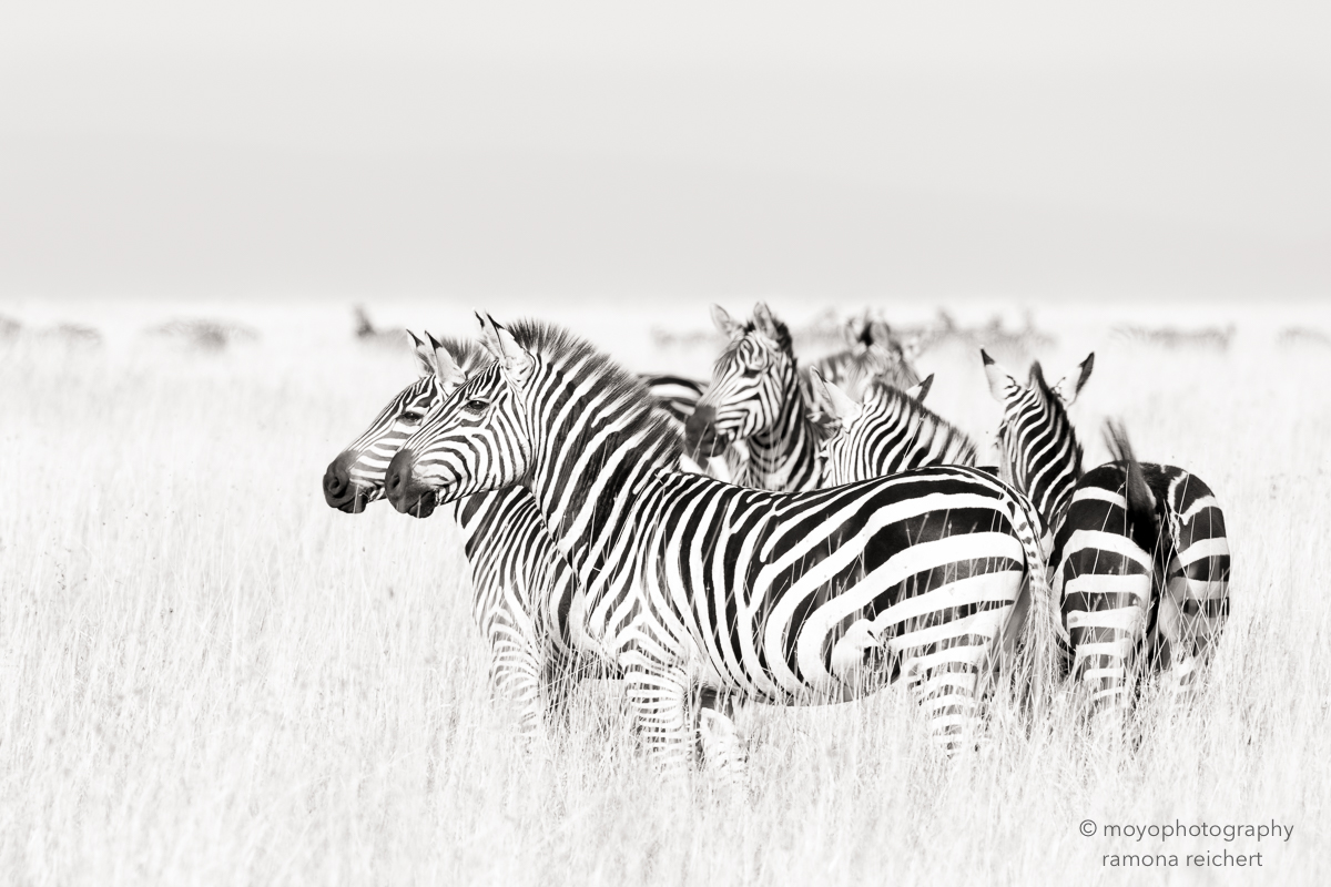 zebras on golden grass - 2015