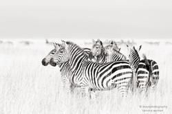 zebras on golden grass - 2015