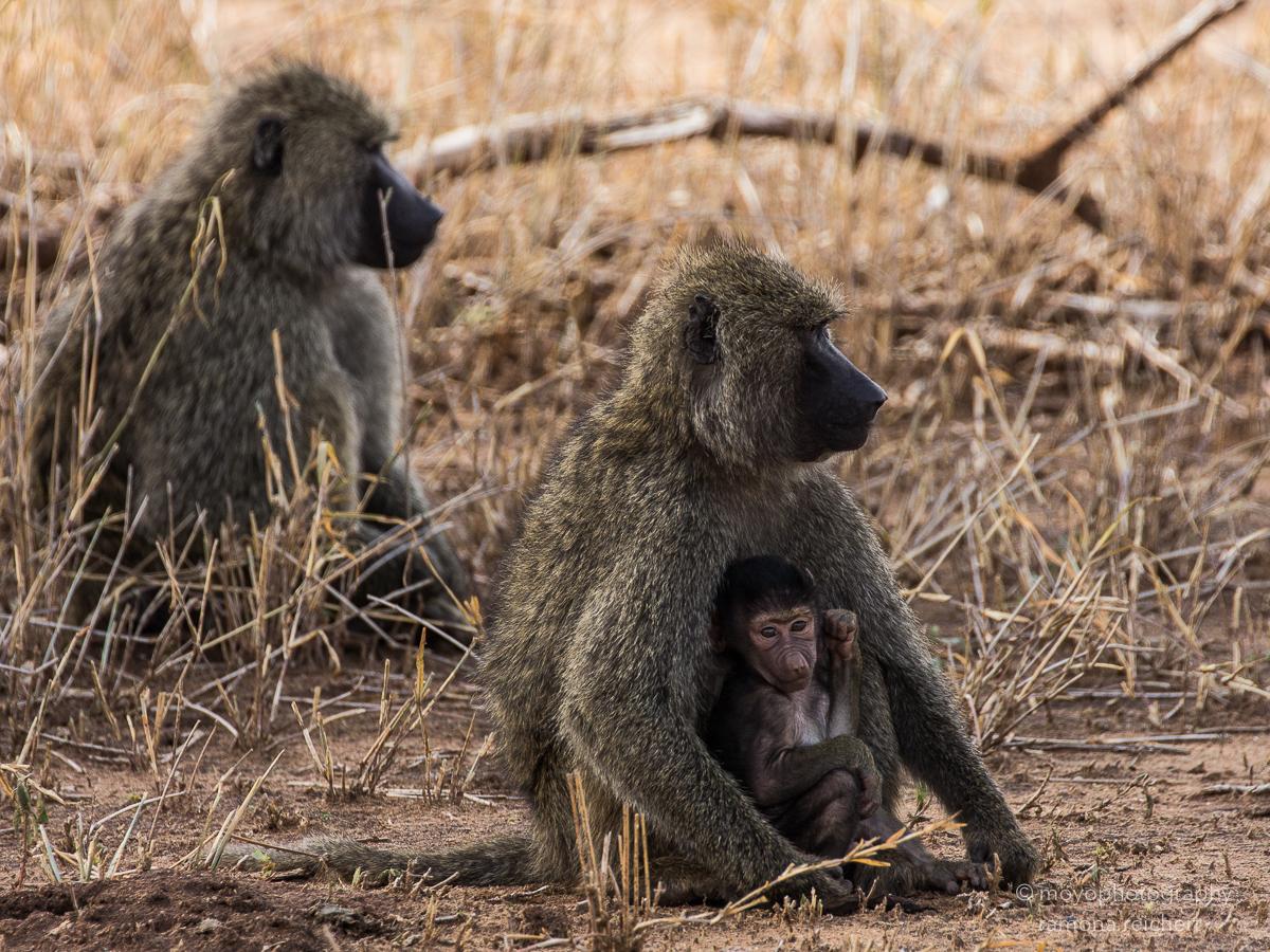 baboon baby - 2014
