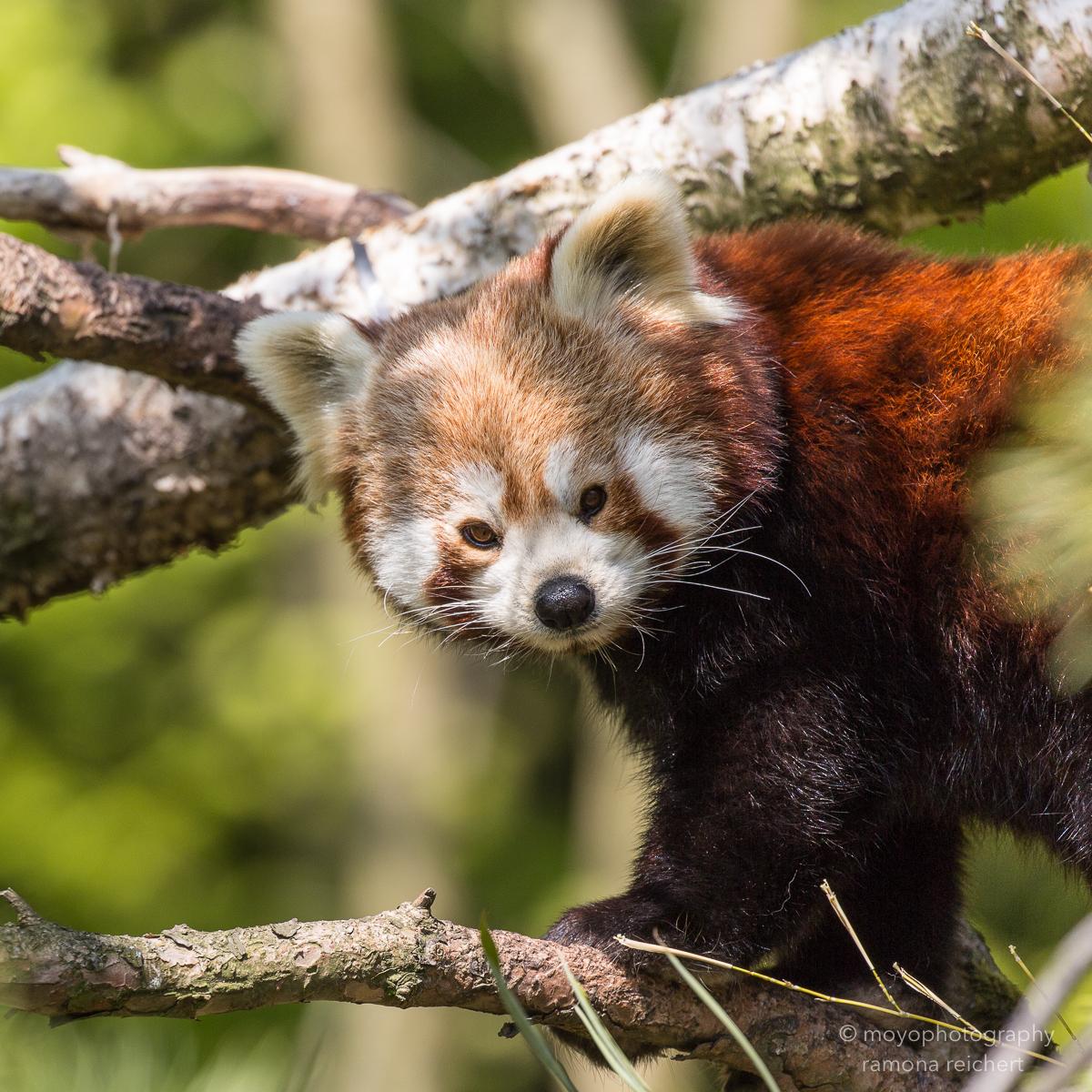 lesser panda - zoo zürich - 2016