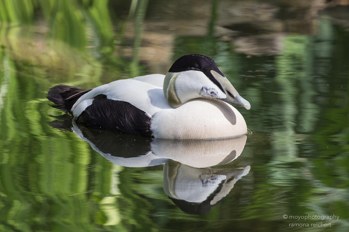 eider duck - zoo zürich - 2016