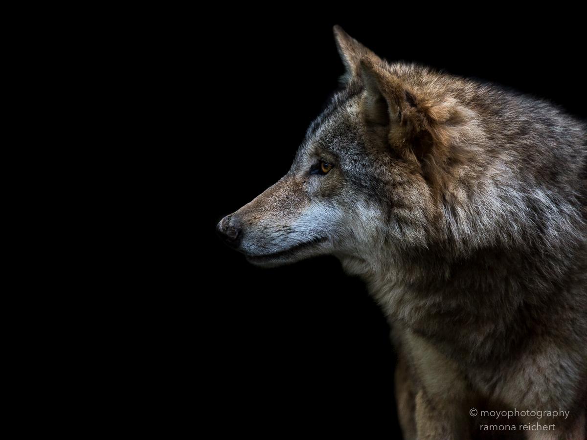 spying wolf - zoo zürich - 2016