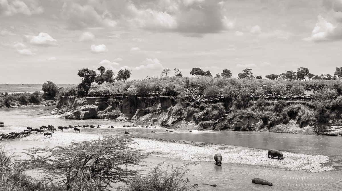 mara river crossing - 2013