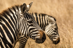 zebra portrait - 2013