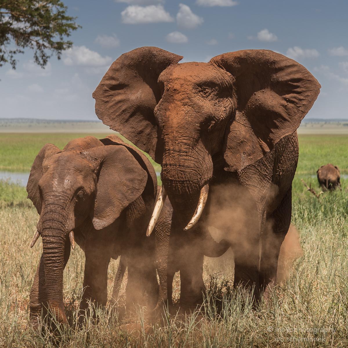 elephant's dusting session - 2015