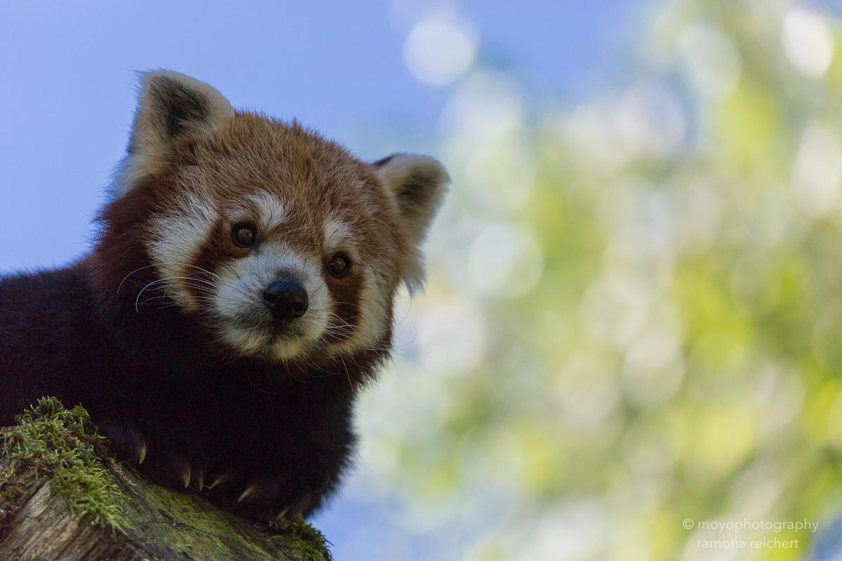 lesser panda - zoo zürich
