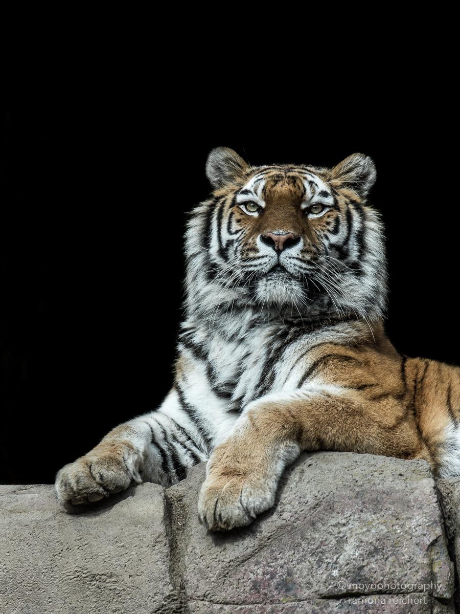 royal amurtiger - zoo zürich - 2016