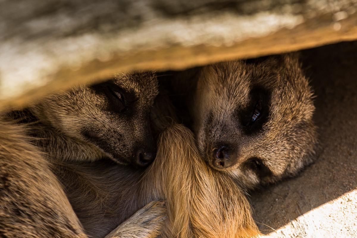 meerkats - zoo hannover -2014