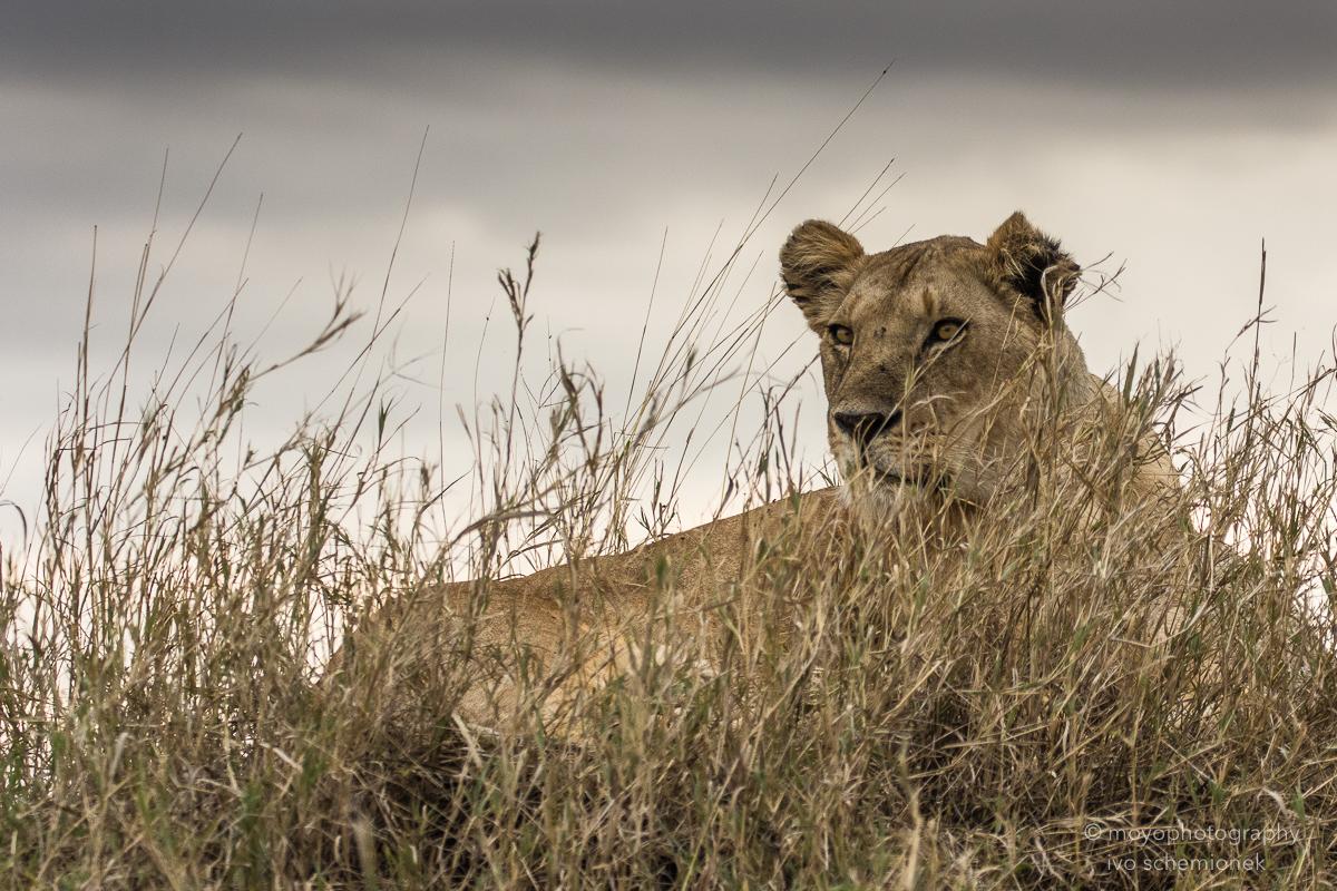 lioness warrior - 2015