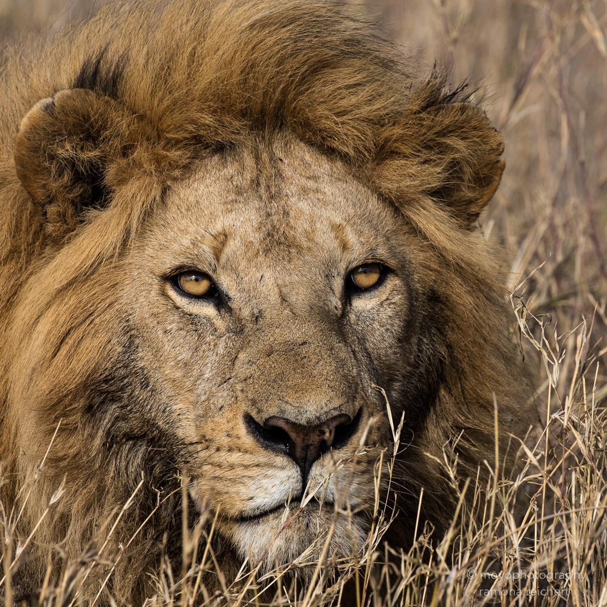 lionking portrait