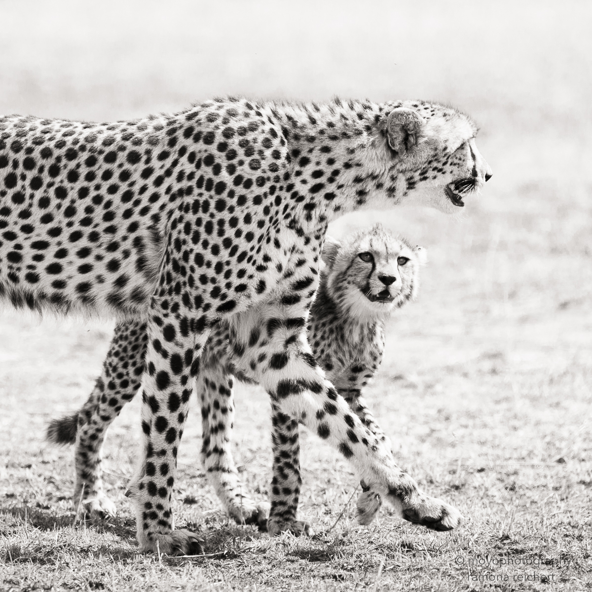 curious cheetah cub