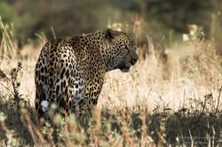 leopard warrior - 2013