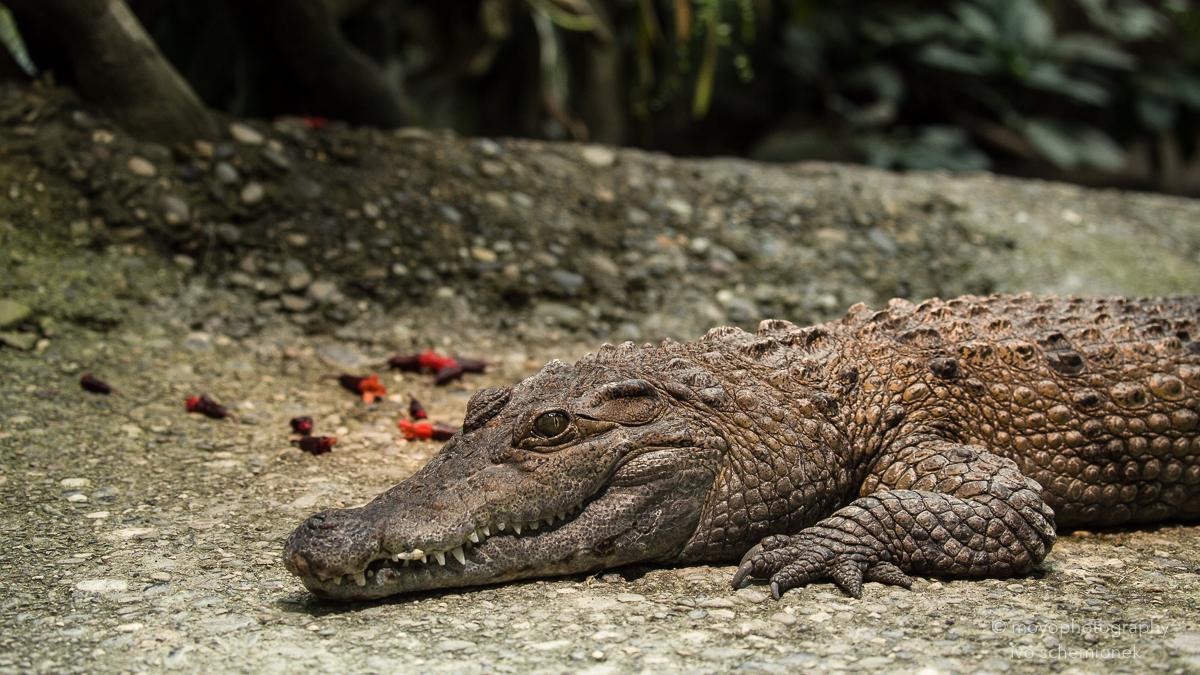 crocodile - zoo zürich_2016