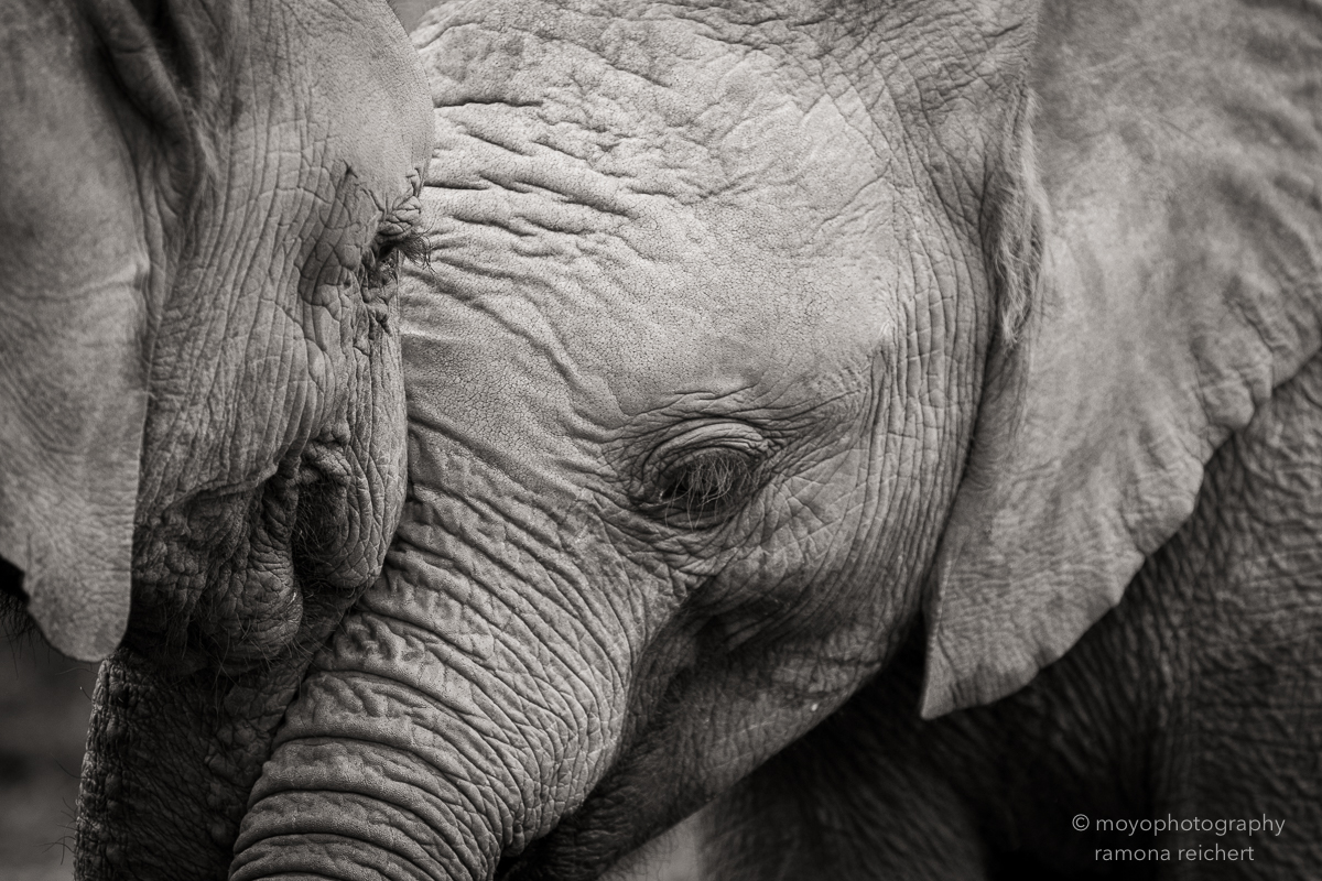 elephant tenderness - 2013