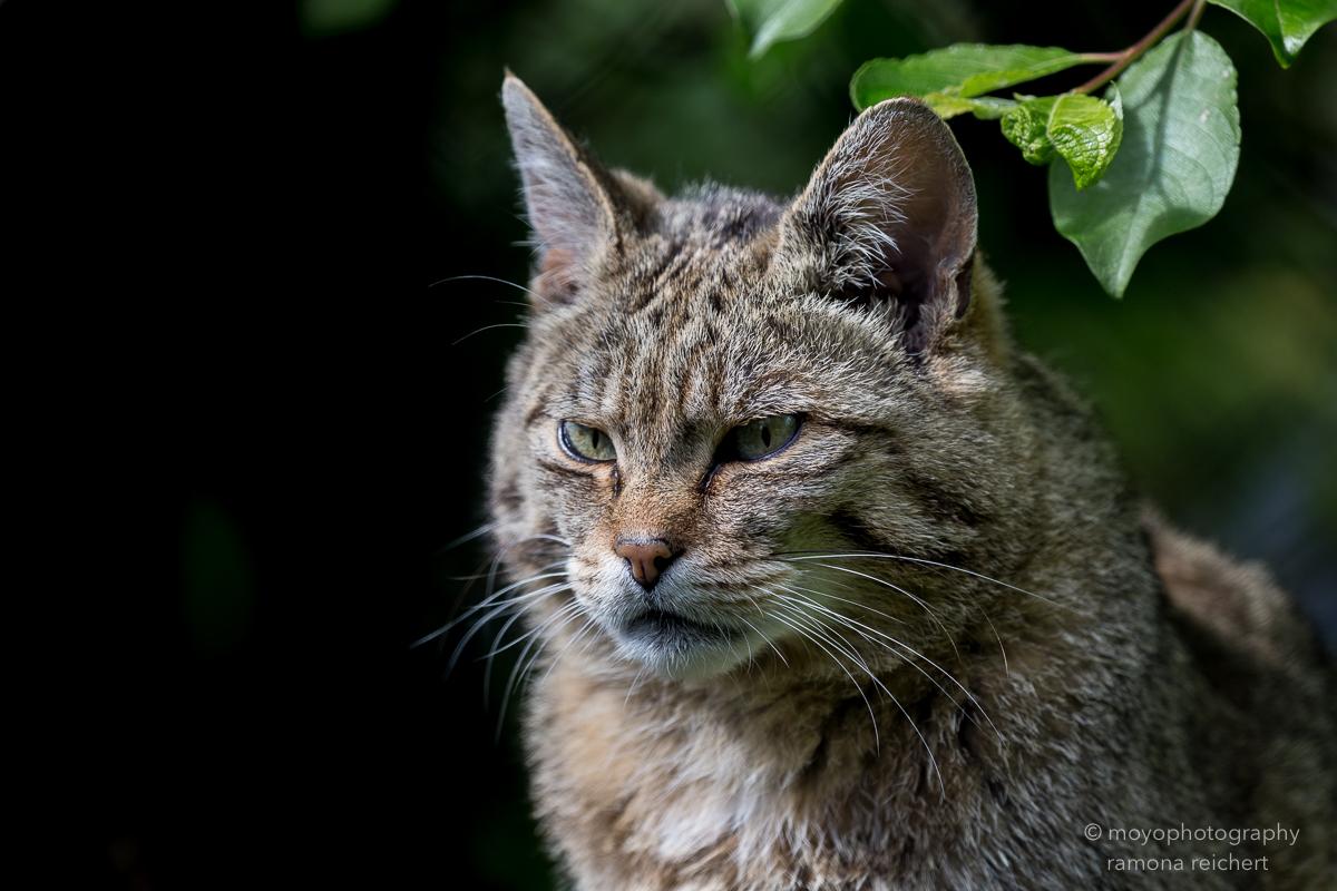 wildcat - tierpark goldau - 2016