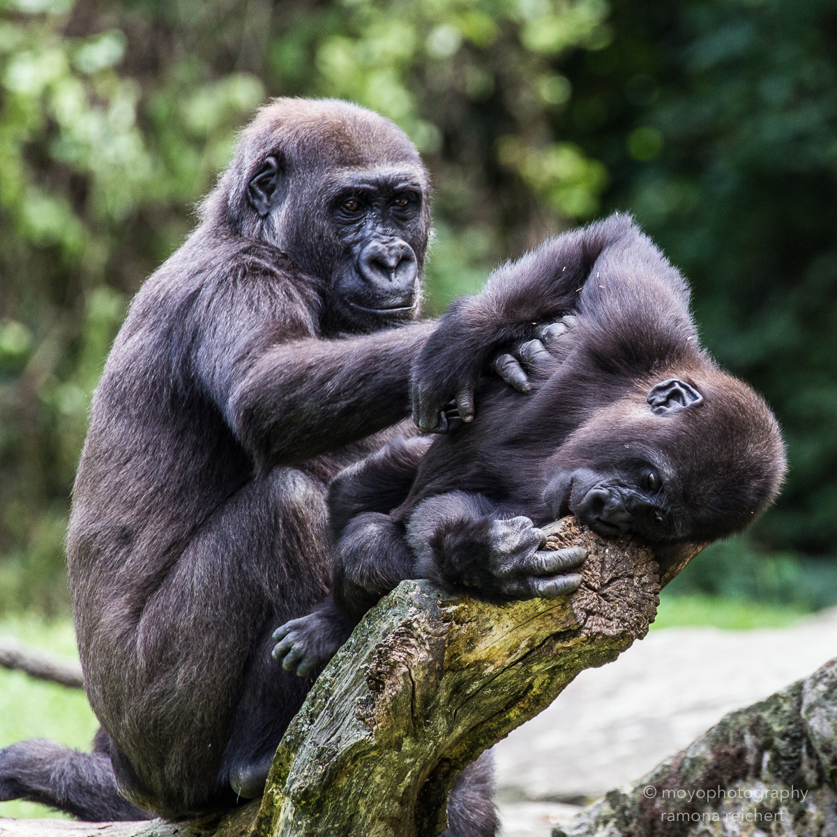 gorilla tenderness - zoo hannover - 2014