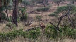 simba and nala playing - 2015