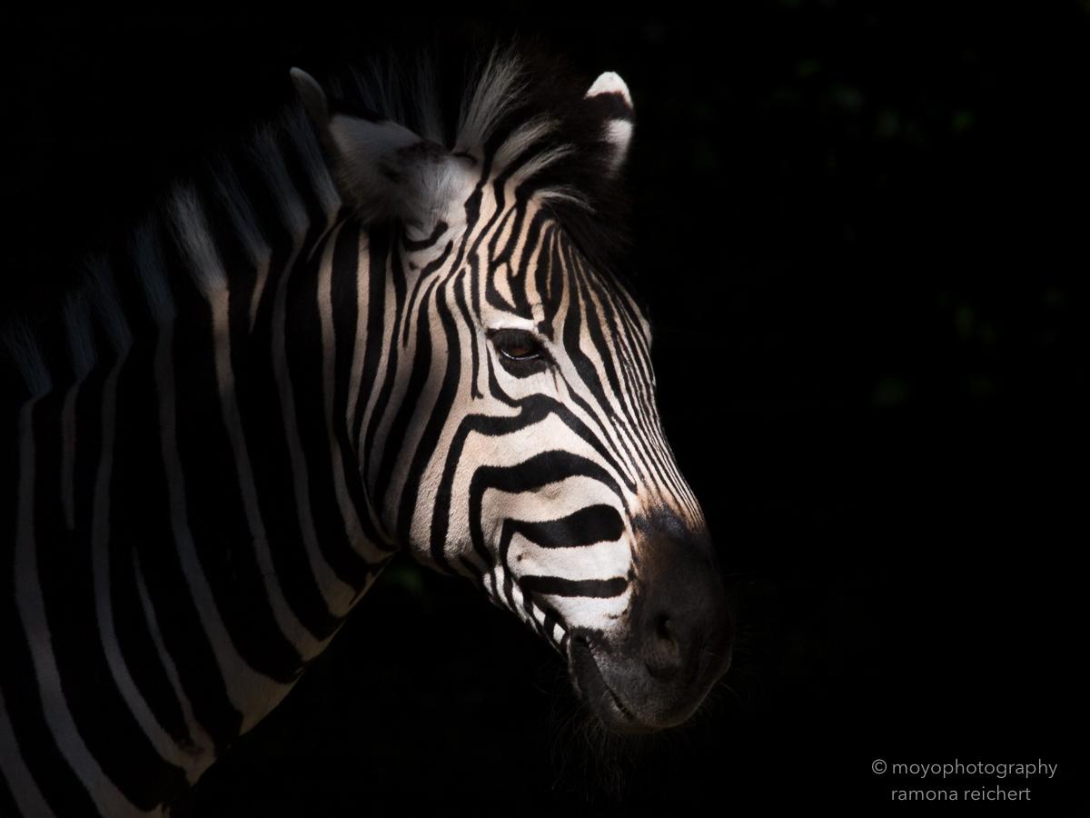 a zebra's head - zoo zürich - 2016