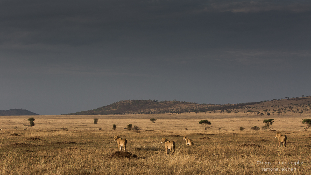 serengeti golden morning - 2015