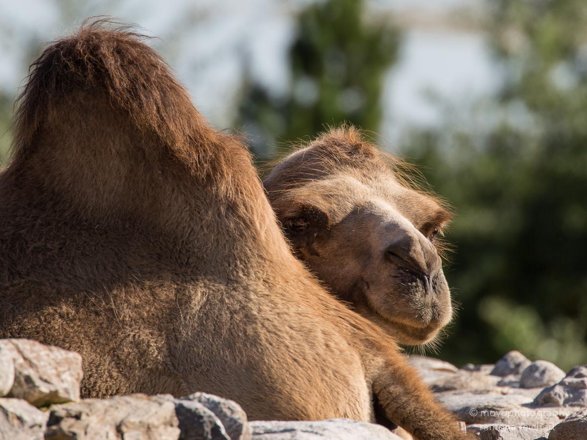 camel - zoo zürich - 2016
