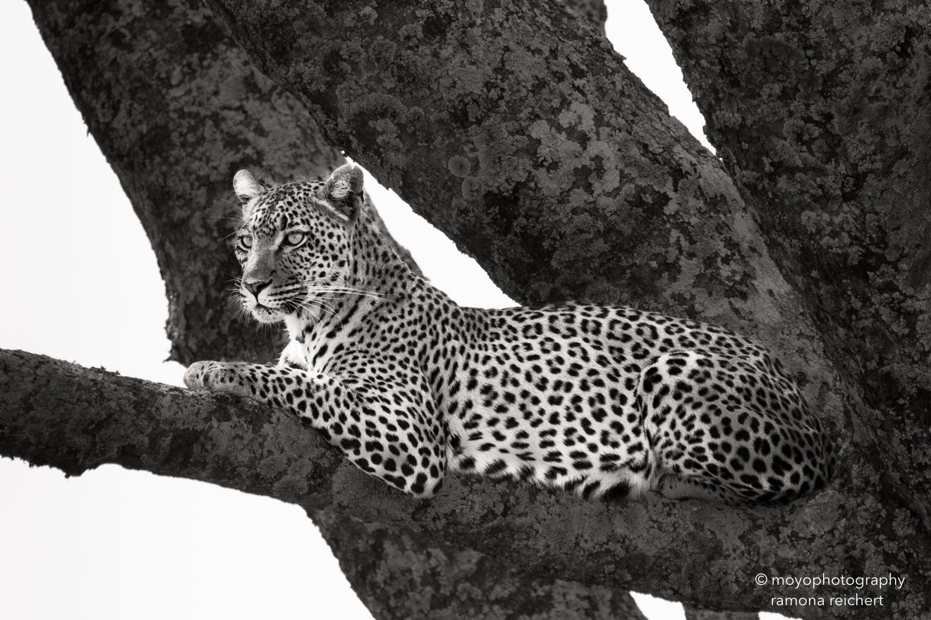 leopard elegance