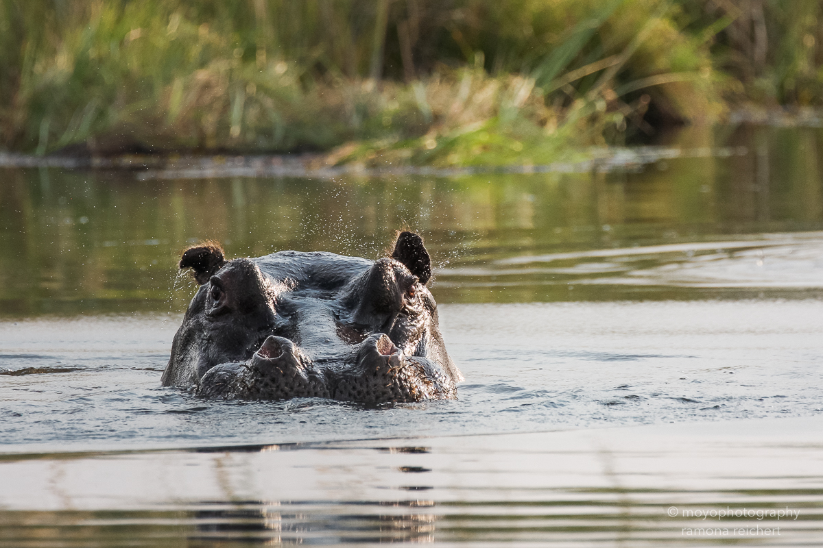 hippo emerging - 2013